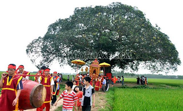 Cây muỗm tại thôn Ngọc Tỉnh được công nhận là di sản Việt Nam